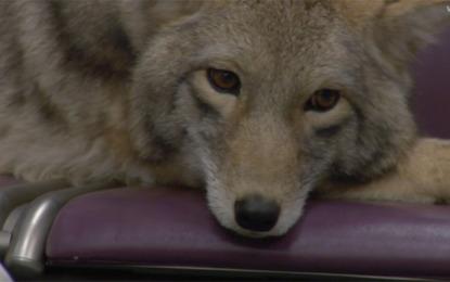 I Modest Mouse scelgono di essere adorabili, guarda il video di Coyotes
